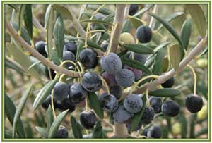 black table olives